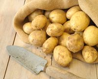 Freshly Dug Potatoes. Burlap hessian sack of freshly dug potatoes with trowel stock photo