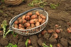 Freshly dug potatoes in a basket Royalty Free Stock Image