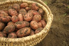 Freshly dug potatoes in a basket Royalty Free Stock Photos