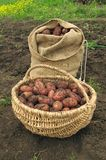 Freshly dug potatoes in a basket and burlap bag Royalty Free Stock Photos
