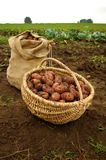 Freshly dug potatoes in a basket and burlap bag Stock Images