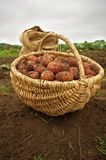 Freshly dug potatoes in a basket and burlap bag. In autumn royalty free stock photos