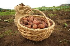 Freshly dug potatoes in a basket and burlap bag. In autumn royalty free stock images
