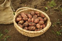 Freshly dug potatoes in a basket and burlap bag. In autumn royalty free stock image