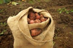 Freshly dug potatoes in a basket and burlap bag Stock Photo
