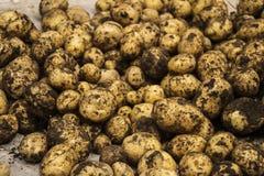 Freshly dug potatoes. With brown ground Stock Photos