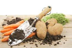 Freshly dug potatoes and carrots Royalty Free Stock Photo