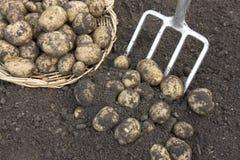Freshly dug potatoes crop stock image