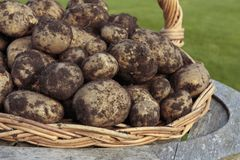 Freshly dug potatoes crop Stock Images