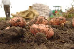 Freshly dug potatoes in field Royalty Free Stock Photos