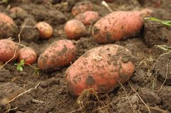 Freshly dug potatoes in field Royalty Free Stock Photography