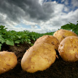 Freshly dug potatoes on a field. With dramatic sky royalty free stock images