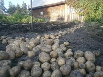Freshly dug potatoes royalty free stock photos
