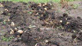 Freshly dug potatoes lies on bed Stock Image