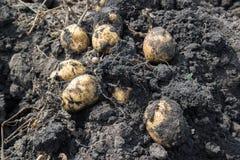 Freshly dug potatoes lying on ground Royalty Free Stock Photo