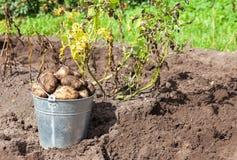 Freshly dug potatoes in metal bucket on the field Royalty Free Stock Photos