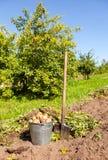 Freshly dug potatoes in metal bucket and shovel. On the field Stock Photography