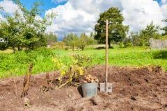 Freshly dug potatoes in metal bucket and shovel on the field Stock Photo
