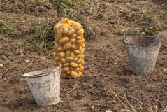 Freshly dug potatoes. Freshly dug and packaged potatoes from the field with two used metal buckets Stock Images