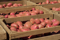Freshly Dug  Red Potatoes Royalty Free Stock Photography