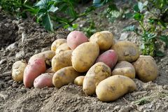 Freshly dug up heap of red and yellow potatoes lying on soil. Freshly dug up heap of red and yellow potatoes lying on soil in a garden stock images