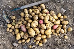 Freshly dug up heap of red and yellow potatoes lying on soil next to hoe from above. royalty free stock photography