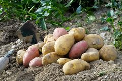 Freshly dug up heap of red and yellow potatoes lying on soil next to hoe. royalty free stock image