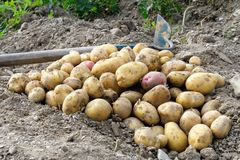 Freshly dug up heap of red and yellow potatoes lying on soil next to hoe. stock image