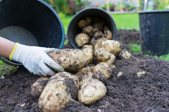 Freshly dug up potatoes. Grew in a pot outside in a garden, great for mash and chips royalty free stock images