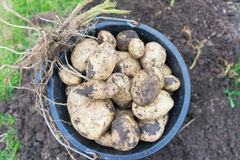 Freshly dug up potatoes. Grew in a pot outside in a garden, great for mash and chips stock images