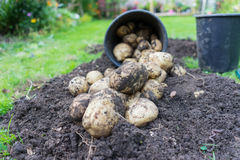 Freshly dug up potatoes. Grew in a pot outside in a garden, great for mash and chips royalty free stock photos