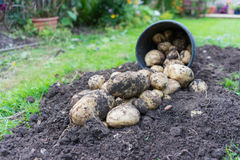 Freshly dug up potatoes. Grew in a pot outside in a garden, great for mash and chips royalty free stock image
