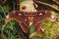 Freshly Eclosed Atlas Moth. A freshly eclosed Atlas  Moth showing its spectacular markings and huge wingspread,  rests and dries on palm tree in a butterfly Stock Image