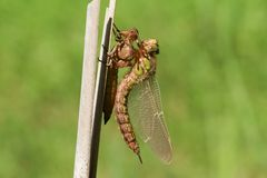 A freshly emerged immature Hairy Dragonfly, Brachytron pratense, perching on a reed with its exuvium. A freshly emerged stunning immature Hairy Dragonfly royalty free stock photography