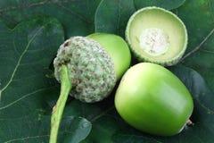 Freshly fallen acorns Stock Images
