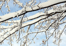 Freshly fallen snow captured on tree branches against a bright blue winter sky Stock Image