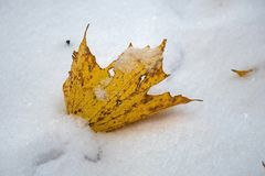 Freshly fallen yellow sugar maple tree leaf in the first snow of the year. stock images