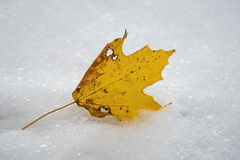 Freshly fallen yellow sugar maple tree leaf in the first snow of the year. stock image