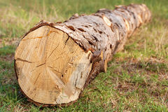 Freshly felled of the fir tree Stock Photography