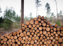 Freshly felled logs Royalty Free Stock Photography