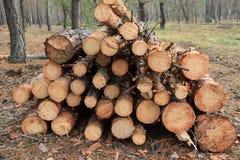 Freshly felled trees piled in a heap. Autumn Stock Photos