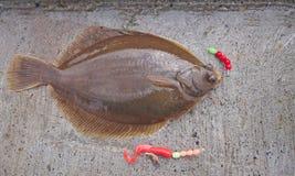 Freshly flat fish - common dab royalty free stock photo