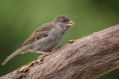 Freshly fledged male sparrow. Very young male house sparrow finding grubs Royalty Free Stock Photo