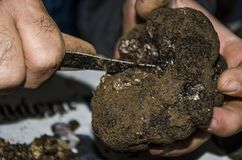 Freshly foraged black truffles. Cleaning freshly dug up black truffles stock photography