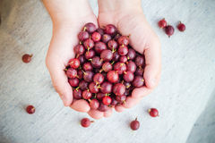 Freshly fruits gooseberries hands man Royalty Free Stock Photo