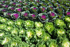 Freshly green cabbage Stock Photography