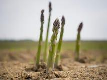 Freshly grown asparagus Stock Image