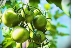 Freshly grown ripe tomatoes on the branches in the greenhouse Royalty Free Stock Photo