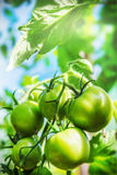 Freshly grown tomatoes on the branches in the greenhouse Stock Photos