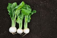 Freshly harvest white radish with green leaves. Freshly harvest white radish with green leaves on a soil Royalty Free Stock Photography